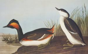 Eared Grebe by John James Audubon