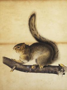 Eastern Grey Squirrel in Full Winter Coat, C.1840s by John James Audubon