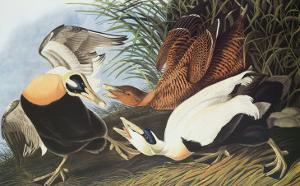 Eider Duck by John James Audubon