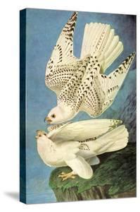 Falcons by John James Audubon