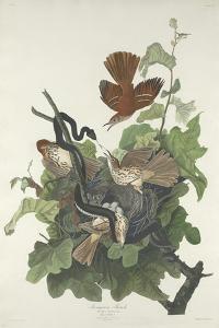Ferruginous Thrush, 1831 by John James Audubon