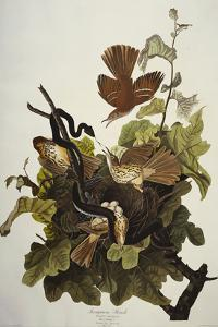 Ferruginous Thrush. Brown Thrasher (Toxostoma Rufum), Plate Cxvi, from 'The Birds of America' by John James Audubon