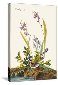 Field Sparrow by John James Audubon