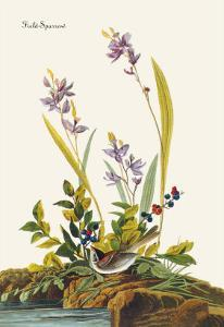 Field Sparrow by John James Audubon