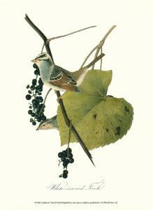 Finch by John James Audubon