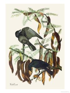 Fish Crow by John James Audubon