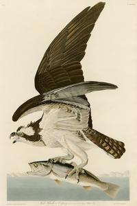 Fish Hawk or Osprey by John James Audubon