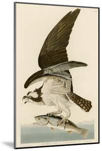 Fish Hawk or Osprey by John James Audubon