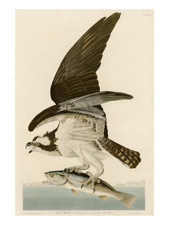 Fish Hawk or Osprey