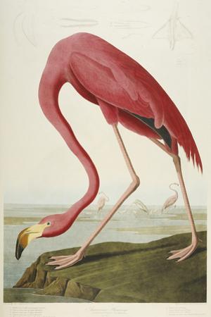 Flamingo Drinking at Water's Edge by John James Audubon