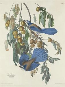 Florida Jays, 1830 by John James Audubon