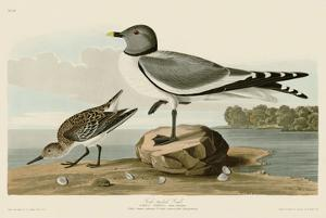 Fork-Tailed Gull by John James Audubon