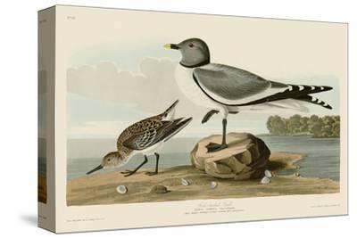 Fork-Tailed Gull