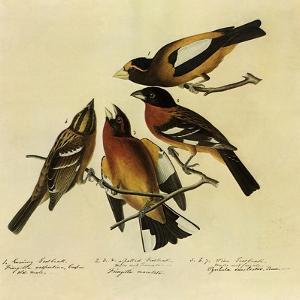 Four Grosbeaks by John James Audubon