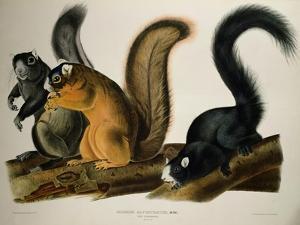 Fox Squirrel, from Quadrupeds of America, 1845 by John James Audubon