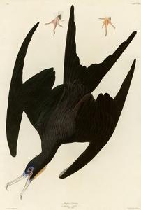 Frigate Pelican by John James Audubon