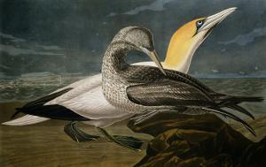 "Gannets from ""Birds of America"" by John James Audubon"