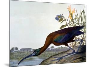 Glossy Ibis by John James Audubon