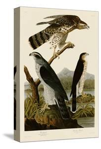 Goshawk and Stanley Hawk by John James Audubon