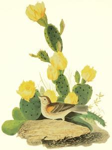 Grass Finch or Bay-Winged Bunting by John James Audubon