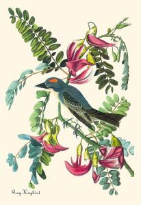 Gray Kingbird by John James Audubon
