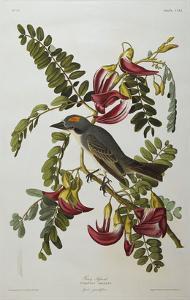 Gray Tyrant. Gray Kingbird (Tyrannus Dominicensis), from 'The Birds of America' by John James Audubon