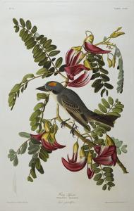 Gray Tyrant. Gray Kingbird by John James Audubon