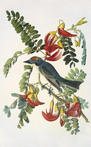 Gray Tyrant by John James Audubon