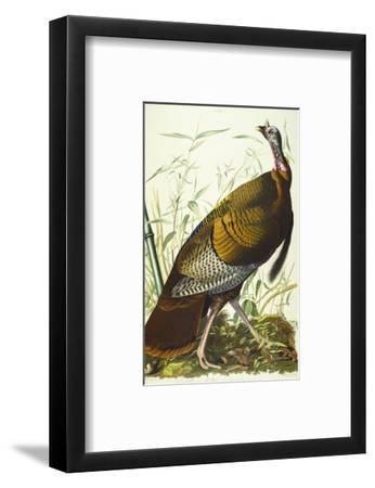 Great American Beck Male. Wild Turkey (Meleagris Gallopavo), Plate I, from 'The Birds of America'
