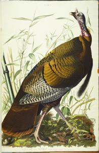 Great American Beck Male. Wild Turkey by John James Audubon