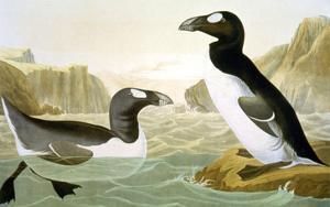 Great Auk (Alka Impennis): by John James Audubon