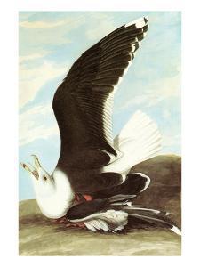 Great Black Backed Gull by John James Audubon