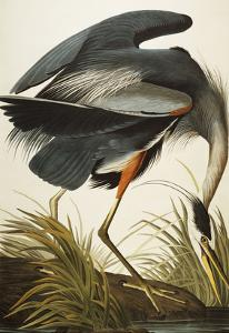 Great Blue Heron (Ardea Herodias), Plate Ccxi, from 'The Birds of America' by John James Audubon