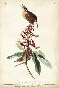 Great Carolina Wren by John James Audubon
