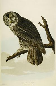 Great Cinereous Owl by John James Audubon