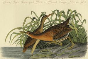 Great Red Breasted Rail or Frash Water Marsh Hen by John James Audubon