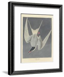 Great Tern, 1836 by John James Audubon
