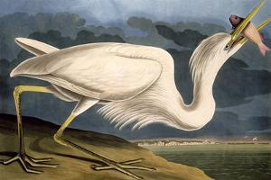 "Great White Heron from ""Birds of America"" by John James Audubon"