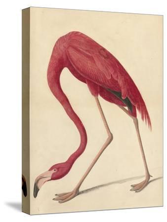 Greater Flamingo, 1838