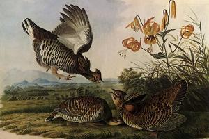 Greater Prairie Chicken by John James Audubon