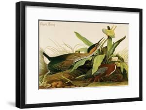 Green Heron by John James Audubon