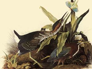 Green Herons by John James Audubon