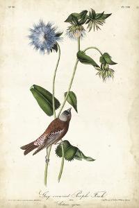 Grey-crowned Purple Finch by John James Audubon