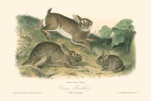 Grey Rabbit by John James Audubon