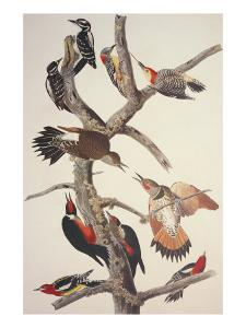 Hairy Woodpecker by John James Audubon