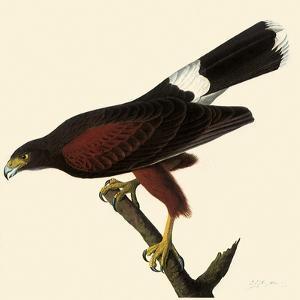 Harris' Hawk by John James Audubon