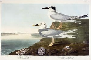Havell's Tern and Trudeau's Tern, 1838 by John James Audubon