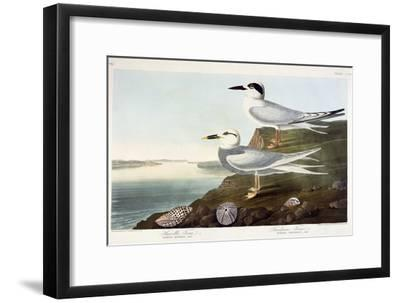 Havell's Tern and Trudeau's Tern, 1838