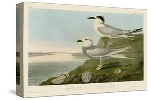 Havell's Tern & Trudeau's Tern by John James Audubon
