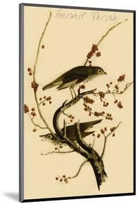 Hermit Thrush by John James Audubon